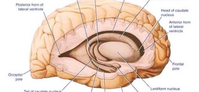 Ядра головного мозга и их функции