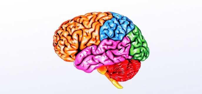 Продолговатый мозг человека