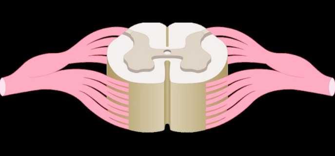 Отделы спинного мозга человека