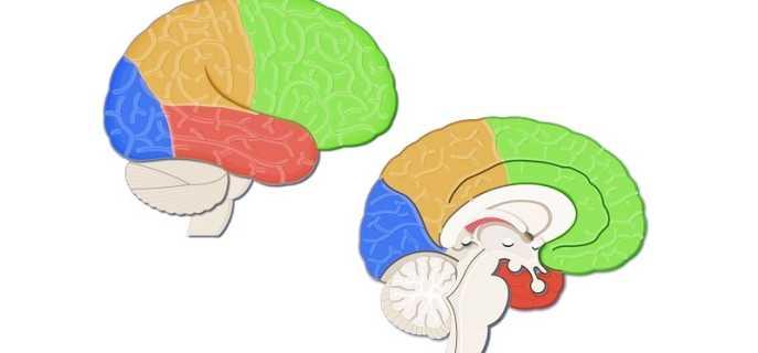 Борозды и извилины — поверхность коры головного мозга